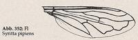 Flügel: Randader c normal (Syritta pipiens)
