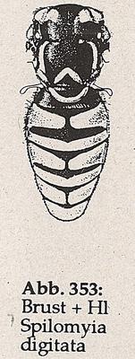 DJN-Schwebfliegen Bothe 1994 Abb.353 Spilomyia digitata Brust+Hl.png