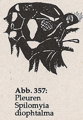 DJN-Schwebfliegen Bothe 1994 Abb.357 S.diophtalma Pleuren.png