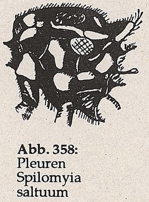 DJN-Schwebfliegen Bothe 1994 Abb.358 Spilomyia saltuum Pleuren.png