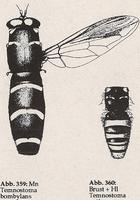 Hinterleib wespenartig (Mn Temnostoma bombylans)
