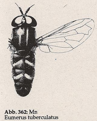 DJN-Schwebfliegen Bothe 1994 Abb.362 Mn Eumerus tuberculatus.png
