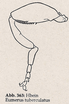 DJN-Schwebfliegen Bothe 1994 Abb.363 Eumerus tuberculatus Hbein.png