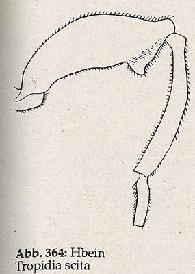 DJN-Schwebfliegen Bothe 1994 Abb.364 Tropidia scita Hbein.png