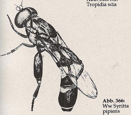 DJN-Schwebfliegen Bothe 1994 Abb.366 Ww Syritta pipiens.png