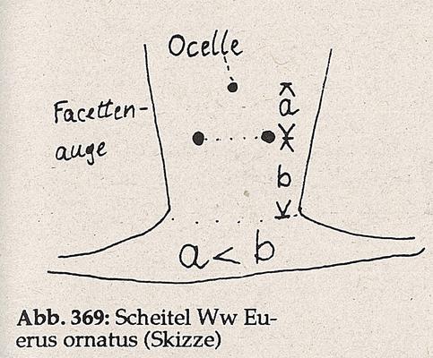 DJN-Schwebfliegen Bothe 1994 Abb.369 Ww E.ornatus Scheitel.png