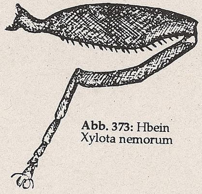 DJN-Schwebfliegen Bothe 1994 Abb.373 Xylota nemorum Hbein.png