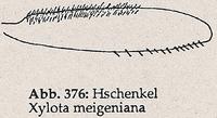 Hinterschenkel mit dichter Behaarung (Xylota meigeniana)