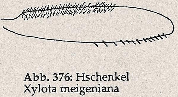 DJN-Schwebfliegen Bothe 1994 Abb.376 X.meigeniana Hschenkel.png