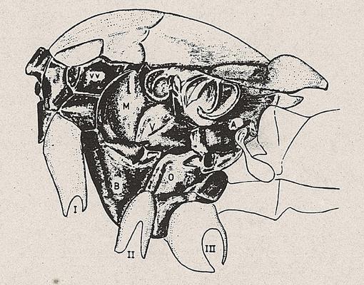 DJN-Schwebfliegen Bothe 1994 Abb.5 Brust von der Seite.png