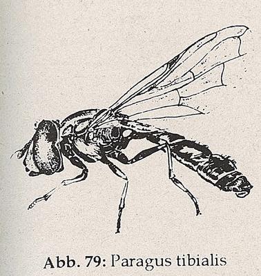 DJN-Schwebfliegen Bothe 1994 Abb.79 Paragus tibialis.png