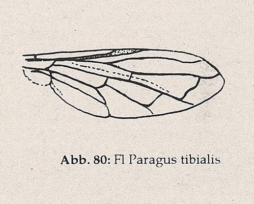 DJN-Schwebfliegen Bothe 1994 Abb.80 Paragus tibialis Flügel.png