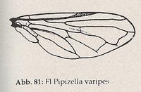 Flügel (Pipizella varipes)