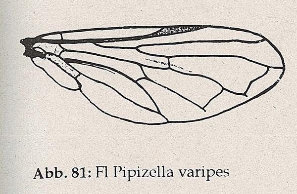 DJN-Schwebfliegen Bothe 1994 Abb.81 Pipizella varipes Flügel.png