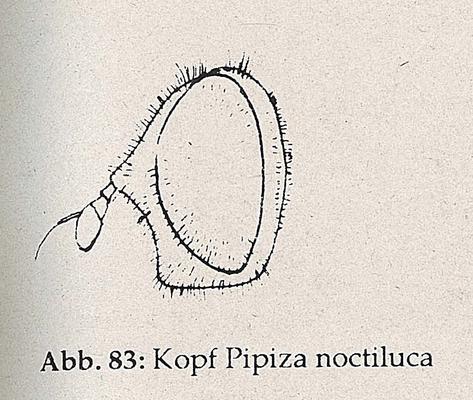 DJN-Schwebfliegen Bothe 1994 Abb.83 Pipiza noctiluca Kopf.png