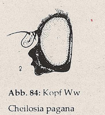 DJN-Schwebfliegen Bothe 1994 Abb.84 Ww Cheilosia pagana Kopf.png