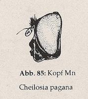 3. Glied normal groß, Fühlerborste sitzt an der Basis (Mn Cheilosia pagana)
