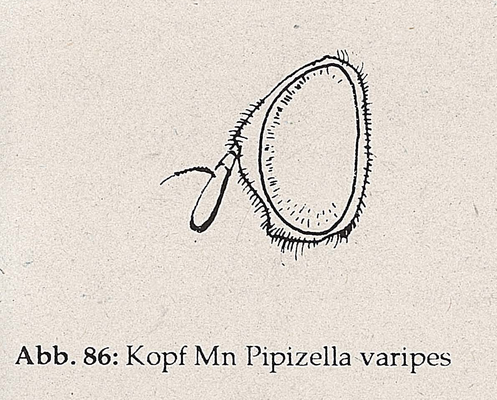 DJN-Schwebfliegen Bothe 1994 Abb.86 Mn Pipizella varipes Kopf.png