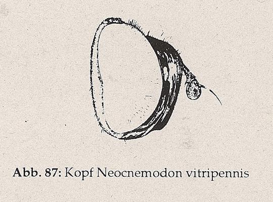 DJN-Schwebfliegen Bothe 1994 Abb.87 Neocnemodon vitripennis Kopf.png