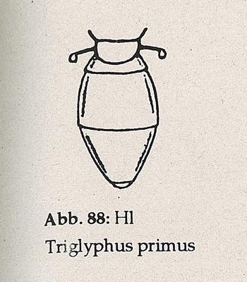 DJN-Schwebfliegen Bothe 1994 Abb.88 Triglyphs primus Hinterleib.png