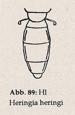 DJN-Schwebfliegen Bothe 1994 Abb.89 Heringia heringi Hinterleib.png