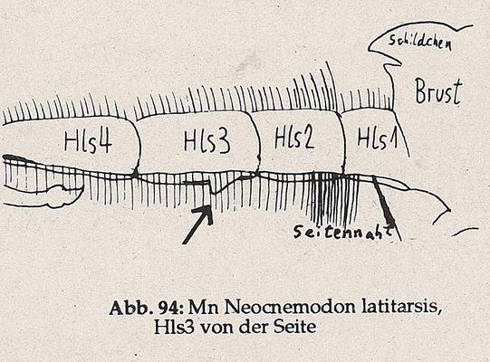 DJN-Schwebfliegen Bothe 1994 Abb.94 Mn N.latitarsis Hls3 Seite.png
