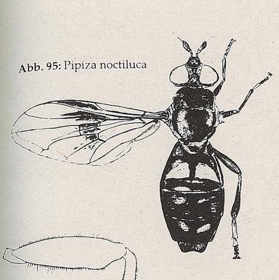DJN-Schwebfliegen Bothe 1994 Abb.95 Pipiza noctiluca.png