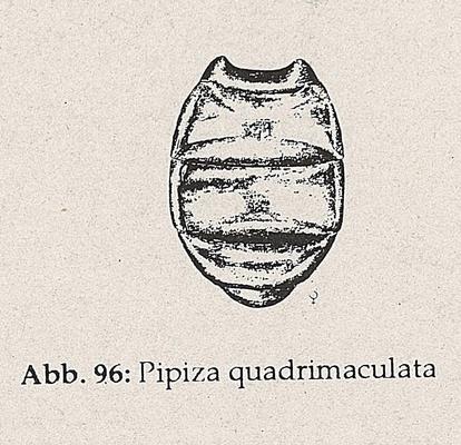 DJN-Schwebfliegen Bothe 1994 Abb.96 Pipiza quadrimaculata.png