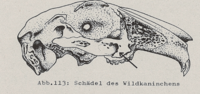 Abb.113: Schädel des Wildkaninchens