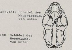Schädel des Mauswiesels, von unten - DJN (1994) - Peter Boye - Heimische Säugetiere