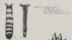 Schwanz der Wildkatze im Vergleich mit dem der Hauskatze - DJN (1994) - Peter Boye - Heimische Säugetiere