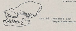 Schädel der Mopsfledermaus - DJN (1994) - Peter Boye - Heimische Säugetiere