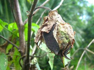Gossypium barbadense fruit TRAMIL.jpg