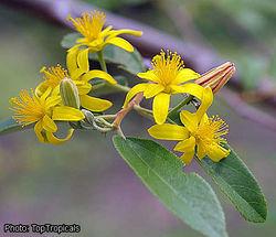 alt=Description de l'image Grewia bicolor inflorescence toptropicals.jpg.
