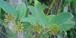 alt=Description de l'image Smilax anceps 1 Zimbabweflora.jpg.