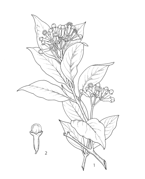 File:Syzygium aromaticum PROSEA linedrawing.png