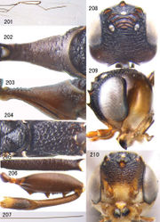 Plate 24. Figures 201–210. Foenatopus trilobatus Elliott, 1920, female, Arboretum of Nanling, Guangdong. 201 fore wing 202 pronotum dorsal 203 pronotum lateral 204 scutellum and propodeum dorsal 205 hind coxa dorsal 206 hind femur and inner side of hind tibia 207 ovipositor sheath 208 head dorsal 209 head lateral 210 head anterior.