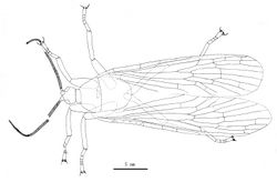 Figure 4. Line drawing of Jeholopsyche liaoningensis gen. et sp. n. Holotype in dorsal view, specimen CNU-M-LB2005-002-1.