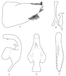 Figures 3–7. Taperus Daozhenensis sp. n. 3 Male pygofer, lateral view 4 Aedeagus, lateral view 5 Aedeagus, ventral view 6 style and connective 7 Subgenital plate.