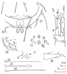 Figures 8–17. Eurypauropus arcuatus sp. n., holotype ad. 9 (♀) 8 right antenna, sternal view 9 collum segment, median and left part, sternal view 10 tergite II, left posterior corner with large setose and small crater-like protuberances, lateral view 11 tergite I, central part, large setose and small crater-like protuberances, tergal view 12 T1 13 T3 14 T5 15 seta on trochanter of leg 9 16 tarsus of leg 9 17 pygidium, sternal view. Scale bars: a: 8-10, 12-15; b: 11; c: 16, 17.