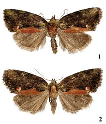 Figures 1–2. Adults. 1 Stenoloba viridicollar sp. n., holotype male, China 2 Stenoloba viridicollar sp. n., paratype female, China.