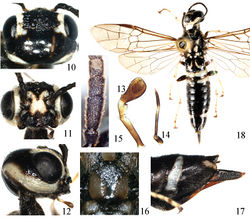 Figures 10–18 Heteroxiphia tenuipalpa sp. n., holotype 10 Head, dorsal view 11 Head, front view 12 Head, lateral view 13 Labial palp 14 Maxillary palp 15 1st–4th antennomeres 16 Mesoscutellum 17 Apex of abdomen, lateral view 18 Adult female, dorsal view