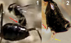 Figure 23. 1 Detail of the moment of oviposition of Kollasmosoma sentum sp. n. showing the location of the ventral spine (red arrow) 2 stereomicroscopic image showing the ventral spine (red arrow) and the exserted ovipositor (yellow arrow).