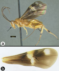 Figure 37. Cremnops desertor a lateral habitus b fore wing.