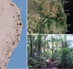 Figure 30. Austrarchaea cunninghami sp. n., distribution and habitat: A, topographic map showing the known distribution of Archaeidae in south-eastern Queensland and eastern New South Wales, with collection localities for A. cunninghami highlighted in yellow (red highlighted localities denote juvenile specimens of tentative identification); B, satellite image showing detail of inset (A); C, subtropical rainforest at the type locality – Cunningham's Gap, Main Range National Park, Queensland (April 2010). Image (C) by M. Rix.
