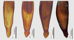 Figure 33. Male aedeagus, dorsal view of blade for A. Abacophrastus millei B Abacoleptus hobbit C Abacoleptus megalops D Abacoleptus chapes.