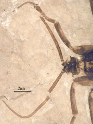 Figure 3. Photo image of head and antennae of Jeholopsyche liaoningensis gen. et sp. n. Holotype, specimen CNU-M-LB-2005-002-1.
