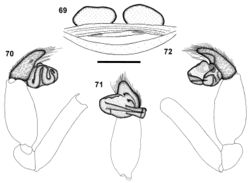 Figures 69–72. Calommata transvaalica Hewitt female genitalia 69 and left palp of male 70–72) 69 dorsal view 70 prolateral view 71 ventral view 72 retrolateral view. Scale bars: 1mm.