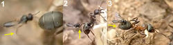 Figure 2. 1 female of Elasmosoma luxemburgense approaches the ant's metasoma with the hind legs extended in curved shape (arrow) 2 the fore legs are darted forward (arrow) 3 when alighting the hind legs brace the apex of the ant's metasoma (arrow).