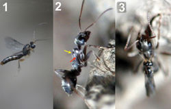 Figure 63. 1 female of Neoneurus vesculussp. n. hovering over the nest entrance 2 worker of Formica cunicularia showing the mesonotum (yellow arrow) where the wasp's head will hit, and the mesopleuron (red arrow) that will be braced by the wasp's legs 3 after the first hit, the wasp's metasoma is positioned vertically and its wings are folded.